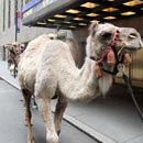Camels Arrive for Radio City Christmas Spectacular