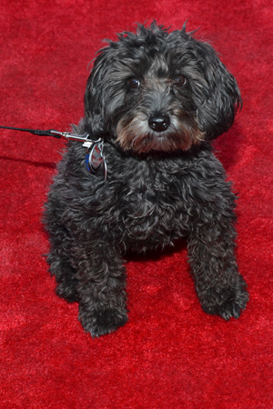 <i>Pippin</i>'s canine scene-stealer, Porridge, hams it up on the carpet.<br />(© David Gordon)